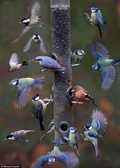 Feeding time in Devon, UK, a compilation by Richard Austin. Included in the picture are the blue tit, coal tit, great tit, chaffinch, nuthatch and bullfinch.