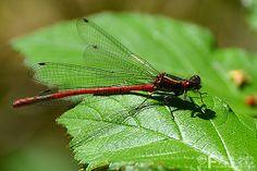 139/365Pyrrhosoma Nymphula - Large Red Damselfly