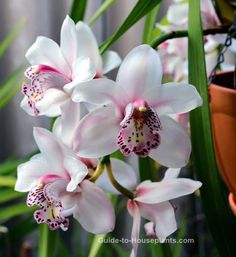 Cymbidium orchid plants are easy to grow as house plants. Get cymbidium orchid care tips and find out how to coax the most blooms.