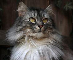 Guga – My Norwegian Forest Cat! Kittens Cutest, Cats And Kittens, Cute Cats, Kitty Cats, Animals And Pets, Cute Animals, Animal Tails, Beautiful Kittens, Siberian Cat