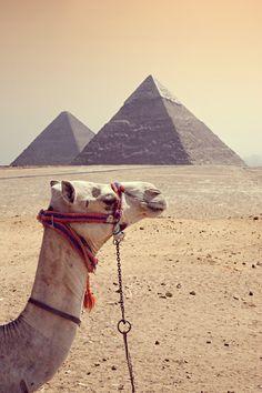 camel -  egipt