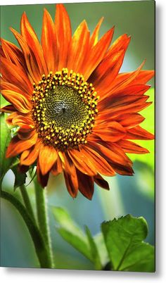 Orange Sunflower Metal Print by Christina Rollo. All metal prints are professionally printed, packaged, and shipped within 3 - 4 business days and delivered ready-to-hang on your wall. Choose from multiple sizes and mounting options. Sunflower Canvas, Sunflower Garden, Dubai Miracle Garden, Orange Sunflowers, Flower Phone Wallpaper, Thing 1, Vegetable Garden Design, Amazing Flowers, Pretty Flowers