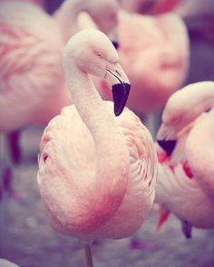 Fine Art Bird Photograph - Flamingo zoo animal nature childs art kids room decor nursery Pastel Pink Feathers white cream - 8x10