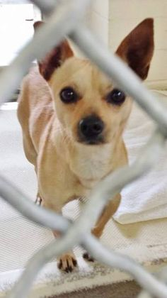 This little beauty is just 3 years old with sweet energy and adorable eyes. please SHARE, a FOSTER would save his life.  #A4802274 I'm an approximately 3 year old male chihuahua sh. I am not yet neutered. I have been at the Carson Animal Care Center https://www.facebook.com/171850219654287/photos/pb.171850219654287.-2207520000.1424741586./374419119397395/?type=3&theater