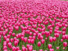 pink tulip flower field background