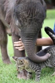 orphaned baby elephant with his cat friend