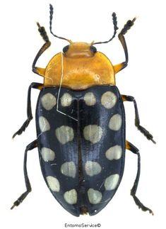 Iphiclus maculatus