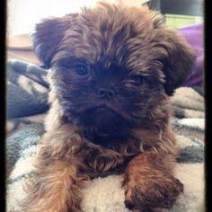 Jack (Brussels Griffon puppy)