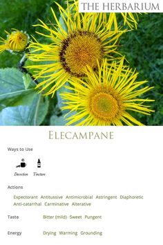 Elecampane, an herbaceous perennial in the Aster family, grows in fields and pastures and along roadsides and fencerows, preferring moist ground. It has a long history of use as a tonic herb for the respiratory system. It's warming and clearing to the lower respiratory system, effectively expelling congestion and stuck energy. It also soothes the tissue irritation and inflammation that results from coughing. (From The Herbarium Monographs)