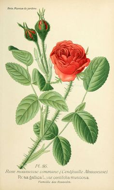 gravures fleurs de jardin - gravure de fleur de jardin 0175 rose mousseuse commune centfeuille mousseuse - rosa gallica var centifolia musco...