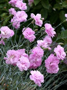 Dianthus plumarius 'Rose de Mai', most enduring and fragrant of all Dianthus, sweetheart pink petals are edible, ft high Dianthus Flowers, Carnation Plants, Carnations, Flower Landscape, Incredible Edibles, Pink Garden, Pink Petals, Growing Herbs, Gardens