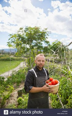 Portrait farm-to-table chef harvesting tomatoes in sunny vegetable ...