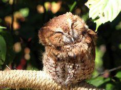 owl in sunshine