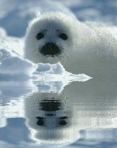 Sign the 'Save the Arctic' petition by February 11 & we'll plant your name… Harp Seal Pup, Baby Harp Seal, Baby Seal, Artic Animals, Animals And Pets, Baby Animals, Cute Animals, Save The Arctic, Cute Seals