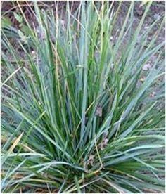 Blue-Green Moor Grass