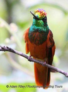 Rainbow starfrontlet Found in Ecuador and Peru
