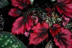 Meravigliosa begonia gigante