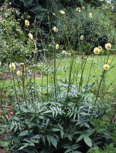 Cephalaria gigantea Tall summer flower perennial, see through effect Common Garden Plants, Flowers Perennials, Dry Garden, Perennial Flowering Plants, Trees To Plant, Plants Uk, Cottage Garden, Perennials, Plants