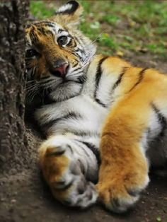 """big-catsss: """" Sweet Tiger Cub (by David Kiraly) """" Big Cats, Crazy Cats, Cats And Kittens, Animals And Pets, Baby Animals, Cute Animals, Wild Animals, Beautiful Cats, Animals Beautiful"""