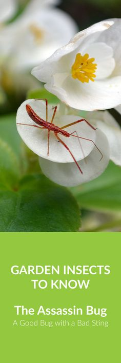 The Assassin Bug - a beneficial garden insect that preys on other bugs. But packs a powerful sting.