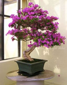 Bougainvillea Bonsai – King of Flowering Trees bou·gain·vil·le·a [boo-guhn-vil-yuh; boh-] Introduction The Bougainvillea is an immensely showy, floriferous and hardy plant. Virtually pest-free and disease resistant, it rewards its o… Bougainvillea Bonsai, Bonsai Plants, Bonsai Garden, Bonsai Trees, Indoor Bonsai, Bonsai Ficus, Carnivorous Plants, Air Plants, Cactus Plants