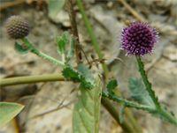 Mundi - La mundi fait partie des nombreuses plantes médicinales de la pharmacopée traditionnelle Âyurveda, elle n'est pratiquement pas connue en Europe pour ses vertus médicinales. La mundi (sphaeranthus indicus) est une plante qui traite certaines pathologies de la femme incluant les douleurs du v... http://www.complements-alimentaires.co/wp-content/uploads/2015/09/mundi_Sphaeranthus_indicus.jpg - Par Nathalie sur Compléments alimentaires  #Lesplantesdelafamillede