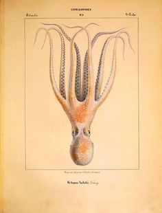 A fabulous vintage octopus illustration free to print along with many more. Octopus Drawing, Whale Drawing, Kraken, Common Octopus, Octopus Species, Octopus Images, Norse Legend, Octopus Illustration, Octopus Print