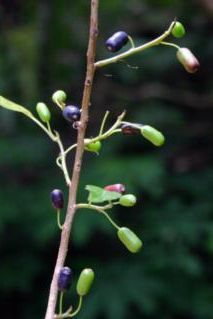 Tree fuchsia berries are purple, and taste a little like tamarillos. Berries, Purple, Plants, Summer, Summer Time, Bury, Plant, Viola, Planets