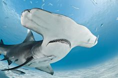 From sharks to walls, blue holes, wrecks and drifts, the Bahamas boasts iconic scuba diving for everyone.