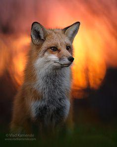 Fox on fire. Vlad Kamenski,Toronto