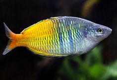 Melanotaenia boesemani (rainbow fish)