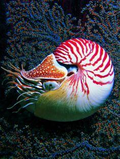 """Nautilo (Nautilus Pompilius) often considered """"living fossils."""""""