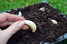Autumn gardening check-list including growing leafy greens, planting garlic, onions, bulbs, and Christmas potatoes. Also tips on soil building & wildlife Grow Organic, Harvest, Organic Gardening, Autumn Garden, Plants, Growing, Veggie Garden, Growing Garlic, Container Gardening