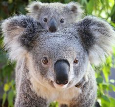 New baby Koala at Taronga Zoo, Sydney. She has been named Wattle. She is with her mother Willow. Cute Funny Animals, Cute Baby Animals, Animals And Pets, Wild Animals, Baby Koala, Cute Koala Bear, Baby Otters, The Bear Family, Australian Animals