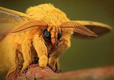 Plush Moth: