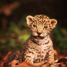 Baby jaguar. #yasuni #yasuniitt #babyanimals, via Flickr.