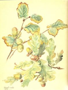 Edith Holden - - Hazelnuts and Acorns