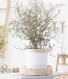 Maori® Sophora Cotoneaster 'Little Baby'