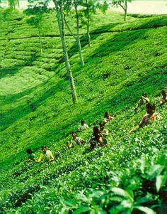 Tea plantation in Assam.