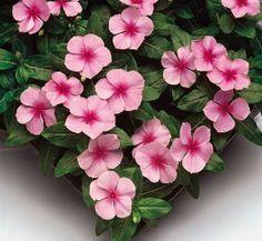 1,000  Vinca Seeds Sunsplash Light Pink Seeds