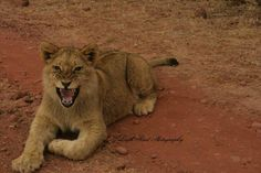 This young lion was unhappy with her photograph being taken! Kruger National Park, Lonely Planet, Big Cats, North West, Lions, Travel Guide, South Africa, Wildlife, Photograph