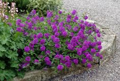 Homestead Purple Verbena.  One of my favorites.  Blooms beautifully in the spring but if you cut off the blooms it will bloom all summer!!!