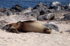 O maior animal achado nas areias de Galápagos é o leão-marinho-de-galápagos (Zalophus wollebaeki). Durante a temporada de acasalamento o macho dominante patrulha…