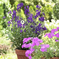 Keep It Simple You can have a showstopping container garden even with one kind of plant, as this pot of angelonia shows. Here it makes a great color contrast with the annual phlox in the foreground. A. Angelonia Angelface Blue: 3