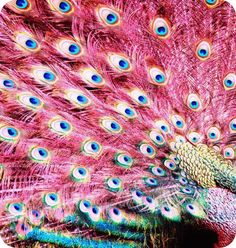 Are pink peacocks real - photo#20