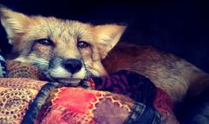 own a trained, kind, sweet, fox