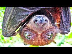 FRUIT BAT UP CLOSE — Help Save WildLife