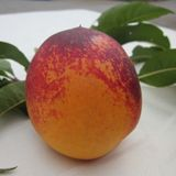 Necta Zee Min Nectarine - only grows to about 5ft.  freestone $24.95
