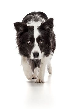 Border Collie Herding Instinct by Oszkár Dániel Gáti, via 500px~T~ This is exactally how my toy Australian Shepherd looks at me most of the day. I am either holding a ball or a frisbee. I love herding dogs. #bordercollie