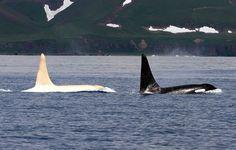 Weißer Schwertwal - Es ist eine zoologische Sensation: Weiße Orcas sind extrem selten. Der erste Albino wurde 2012 gesichtet. Die Entdecker tauften ihn Iceberg. Forscher haben nun im Nordpazifik sogar mindestens noch fünf weitere weiße Schwertwale gesichtet. Es könnten sogar bis zu acht Tiere sein, schreiben die Experten des Far East Russia Orca Projects (Ferop) in der Fachzeitschrift «Aquatic Mammals». Diese Orcas gehörten verschiedenen Gruppen an, außer einer weißen Orca-Mutter, die mit…